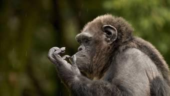 Auch Schimpansen töten Artgenossen, allerdings ist das organisierte Töten von Angehörigen fremder Gruppen sehr selten.