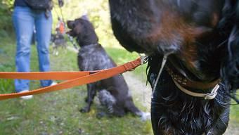 """Halter von """"grossen und massigen Hunden"""" werden im Kanton Zürich von der Leine gelassen: Sie müssen keinen Kurs mehr absolvieren.  (Archiv)"""