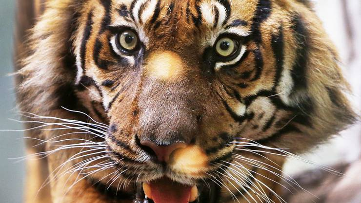 Nach Schätzungen leben noch etwa 400 Sumatra-Tiger in der Wildnis Indonesiens. Durch die Rodung der Wälder wird ihr Lebensraum immer kleiner. (Symbolbild)