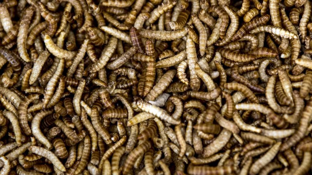 ARCHIV - Buffalo-Mehlwürmer, die zum Verarbeiten zu Mehlwurm-Mehl präpariert wurden, liegen in einer Schüssel. Foto: Federico Gambarini/dpa