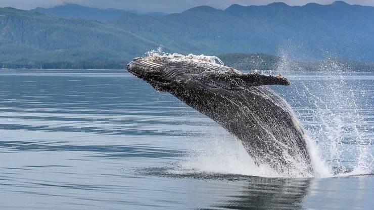 Buckelwale sind etwa zwölf bis fünfzehn Meter lang und können bis zu 35 Tonnen wiegen.