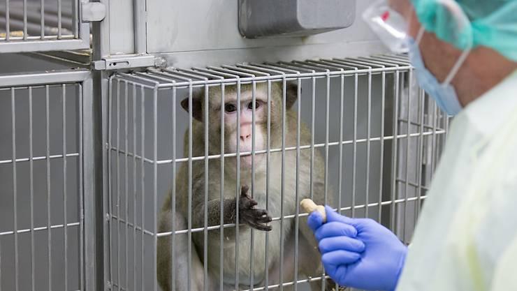 Ein Makake in einem Labor in Deutschland, in welchem zu Forschungszwecken Tierversuche durchgeführt werden. In der Schweiz fordert eine Initiative ein Verbot von Tierversuchen. (Archivbild)