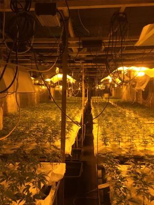 2300 Hanfpflanzen fand die Kantonspolizei in dieser Anlage in Balsthal.