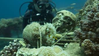Die Korallen im Golf von Aqaba sind besonders robust. Für die Experimente sammelte Doktorandin Jessica Bellworthy einige Exemplare.