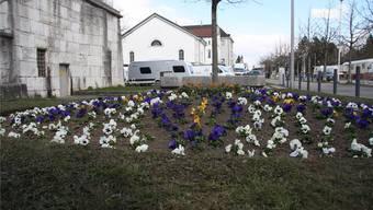 Stiefmütterlich meinte es der diesjährige März mit dem Frühling. Doch unverdrossen pflanzte die Stadtgärtnerei Mitte März ihren Frühlingsflor vor dem Baseltor an – eben Stiefmütterchen.