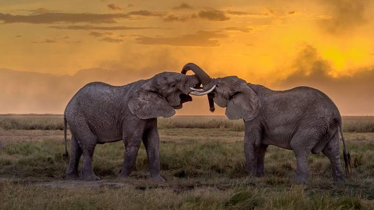 Elefanten sind die grössten Landtiere der Welt und können fünf Tonnen Gewicht oder mehr auf die Waage bringen.