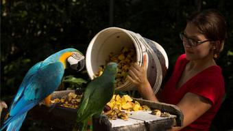 Keine Angst vor spitzigen Schnäbeln: Gabriela Strähl füttert einen Blauflügelara und einen Amazonaspapagei mit allerlei tropischen Früchten.