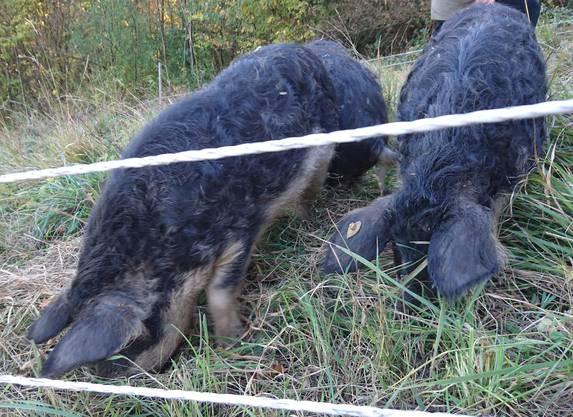 «Jäger müssen doch feisse Wollschweine mit Hängeohren von Wildschweinen unterscheiden können.»