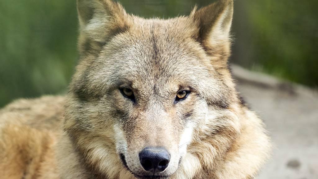 Auch im Zoo Zürich bleiben die Wölfe scheu