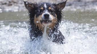 Falls sich ein Hund statt im kühlen Wasser auf heissem Asphalt bewegen muss, empfiehlt die Zürcher Stadtpolizei Schuhe für den Schutz der Pfoten.
