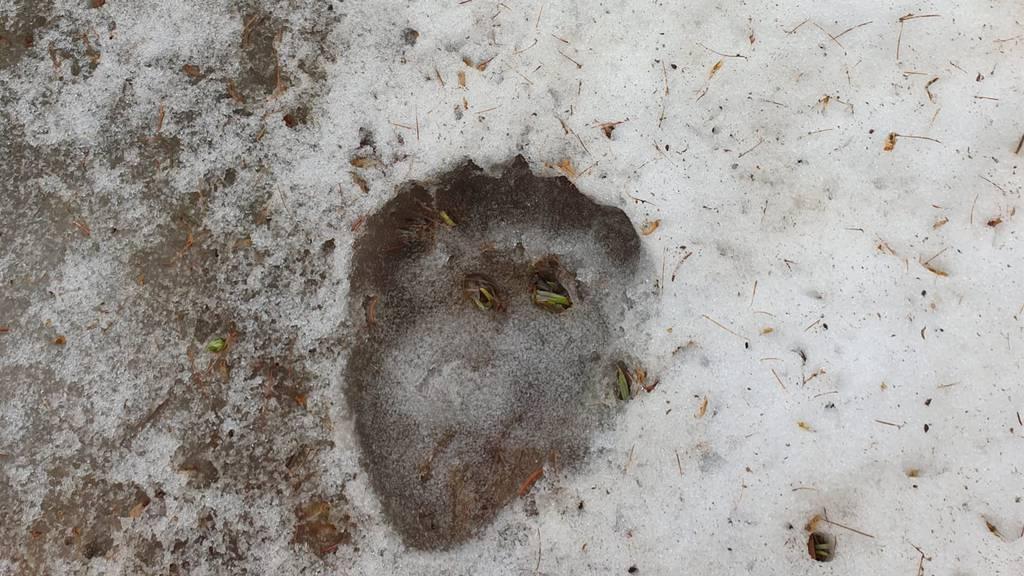 Bär im Münstertal beobachtet