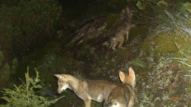 Jungwölfe des Caladarudels (Foto: Amt für Jagd und Fischerei GR)