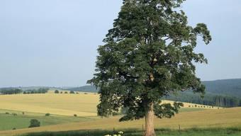 Der asiatische Laubholzbockkäfer kann etwa Ahorn-Bäume befallen (Symbolbild)