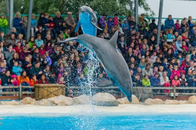 Kreuz und quer fliegen die Delfine
