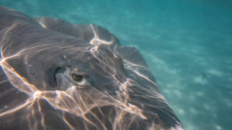 Nebst Haien kann man in der Südsee auch Rochen hautnah erleben