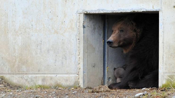 Bärenmutter Björk und eines ihrer zwei Kleinen.
