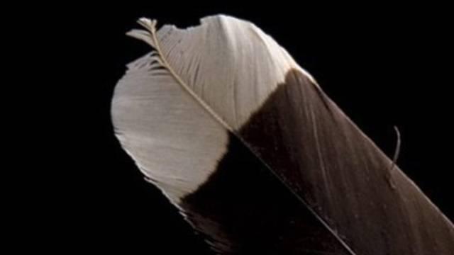 Huia-Federn sind ein Vermögen wert (Archiv)
