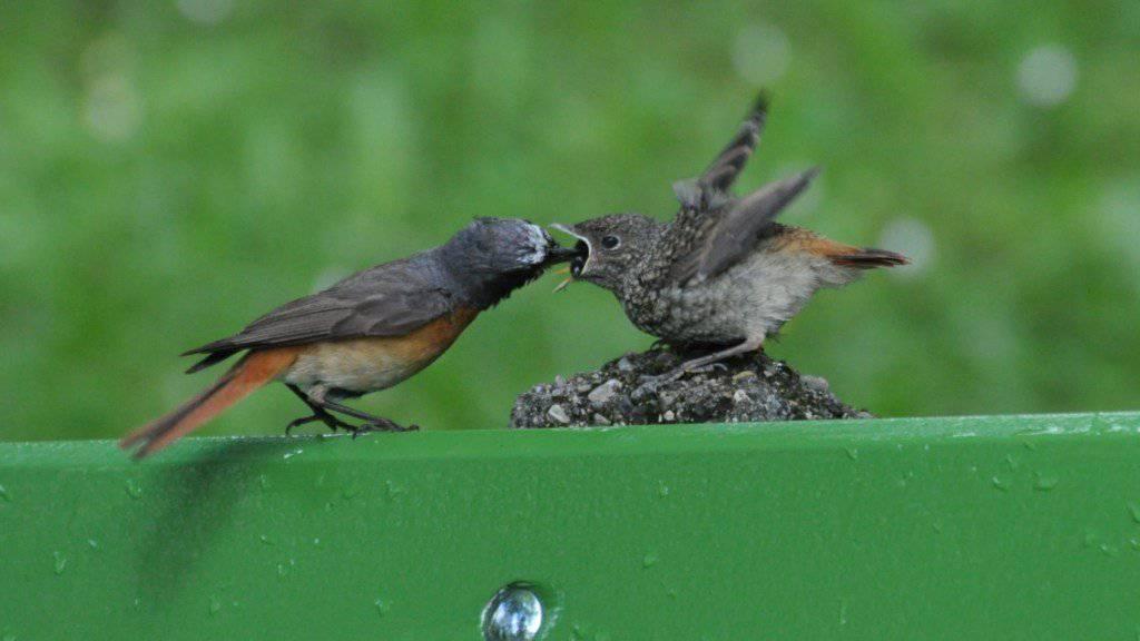 Hier erhält der Gartenrotschwanz wieder mehr Raum: Schutzmassnahmen für den Vogel schaffen innerhalb der Stadt La Chaux-de-Fonds (NE) ein «grünes Netz».