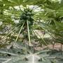 Auch künftig wachsen im Tropenhaus Papayas. (Archivbild)