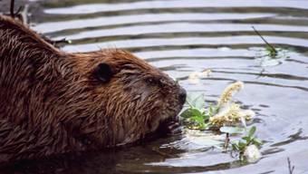 Das Tier hat vor allem ein Ziel vor Augen: Es will sein Leben schwimmend gestalten.