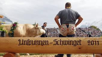Der Siegermuni Helveticus beim Unspunnen-Schwinget 2011.