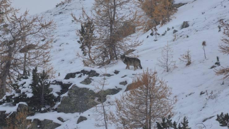 Ein Wolf des Rudels im Schnee