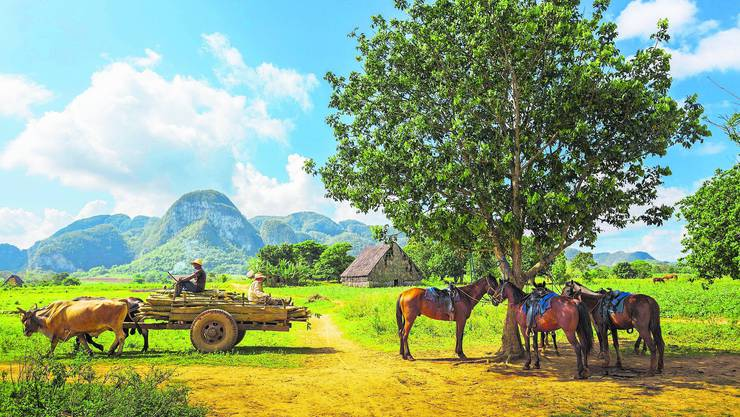 Weil Treibstoff fehlt, sind kubanische Bauern wieder vermehrt auf Nutztiere angewiesen.