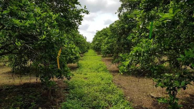 Eine unvollständig gemähte Fahrgasse in einer mexikanischen Orangenplantage bietet Lebensraum für Nützlinge, welche den Krankheitsüberträger Zitrusblattfloh bekämpfen. Diese biologische Methode der Schädlingsbekämpfung ist der chemischen überlegen. (zVg)