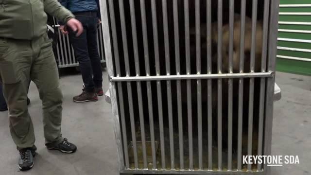Bären sind im Arosa Bärenland angekommen