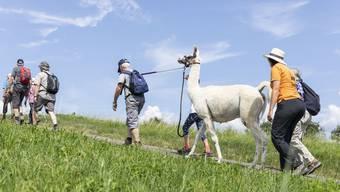 Mit Lamas durch den Kanton wandern? Auch das ist möglich.