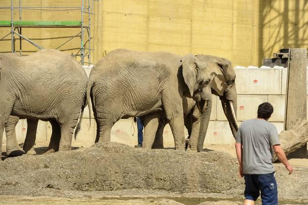 Die Elefantenkuh konnte schliesslich selbständig gehen.
