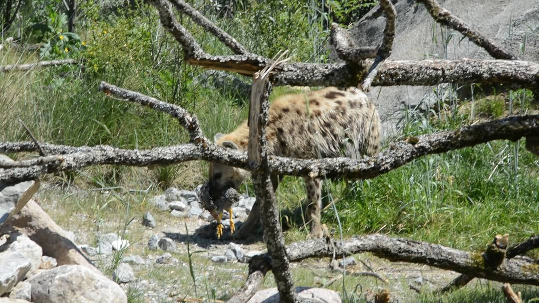 Eine Tüpfelhyäne gönnt sich einen Snack und Zoo-Direktor Alex Rübel versucht die Graupapageien zu übertönen: Einblicke in die neue Savanne im Zoo Zürich