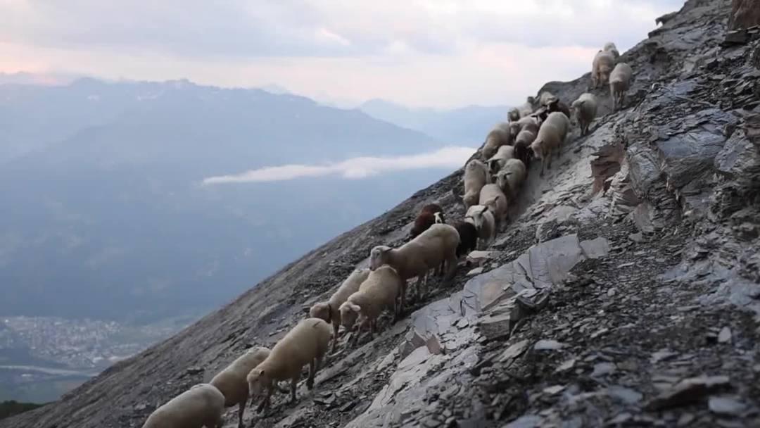 1500 Schafe auf steilem Pfad zu neuen Weiden