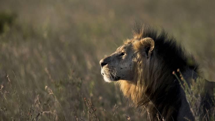 Ein Löwe aus dem Nairobi-Nationalpark. Ein ausgebüxter Kollege versetzte Fussgänger in Nairobi in Aufregung. (Archiv)