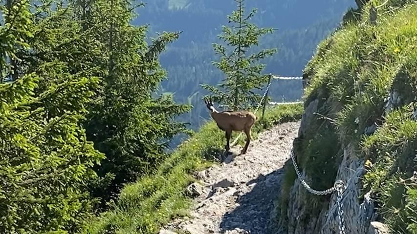 Geübter Berggänger: Gämse zeigt Wanderer den Weg