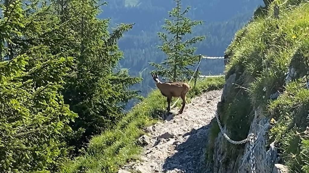 Gämse zeigt Wanderer den Weg