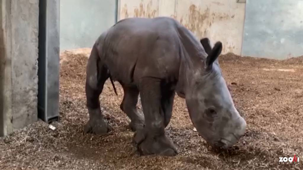 Seltener Nachwuchs: Breitmaulnashorn im Zoo Zürich geboren