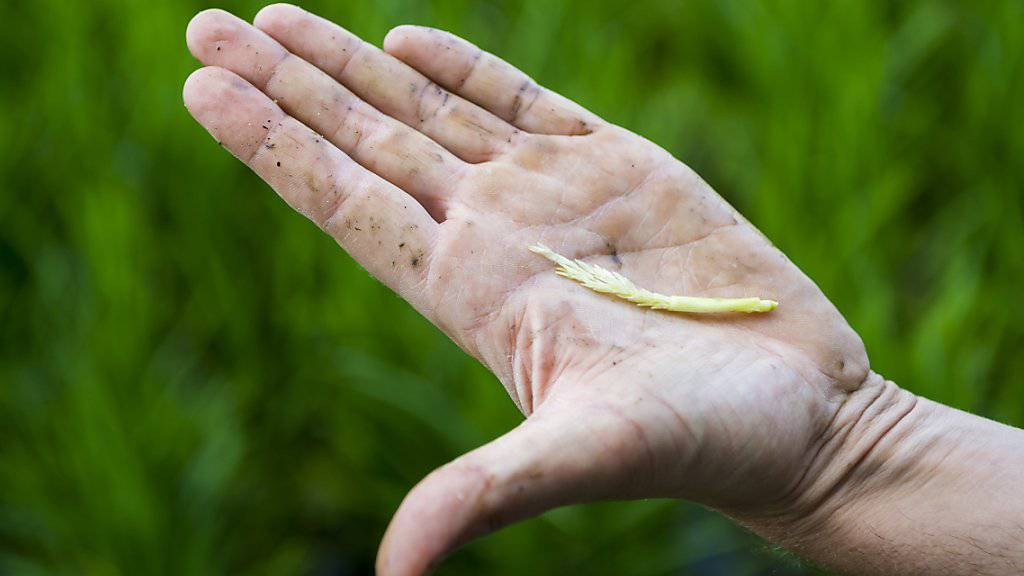 Das Wetter der kommenden Tage wird entscheidend sein für die Reisernte im Herbst. Aktuell blüht der Reis. Der Wind kann die Pollen nur bei trockenem Wetter optimal transportieren.