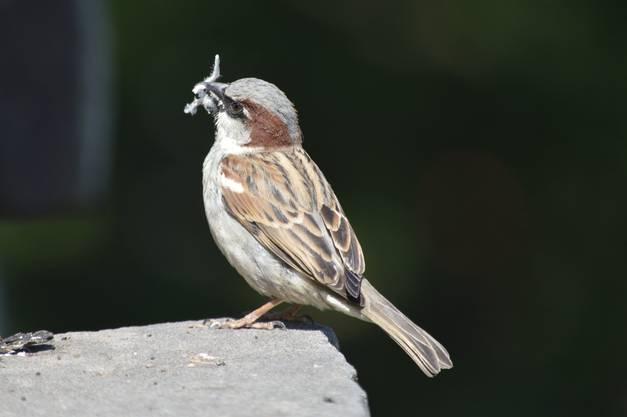 Haussperling beim Nestbau