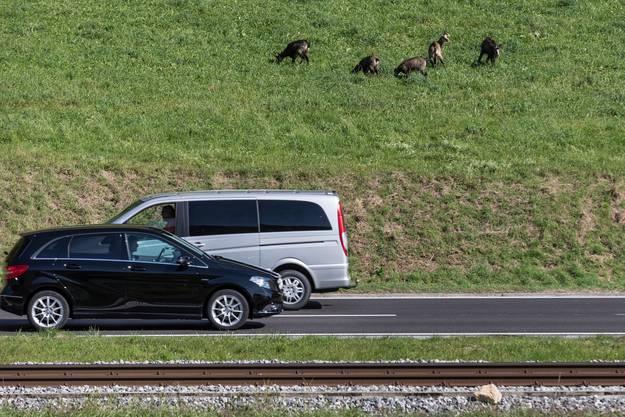 ...und den Autozubringer. Der rege Verkehr scheint die Tiere nicht zu stören.