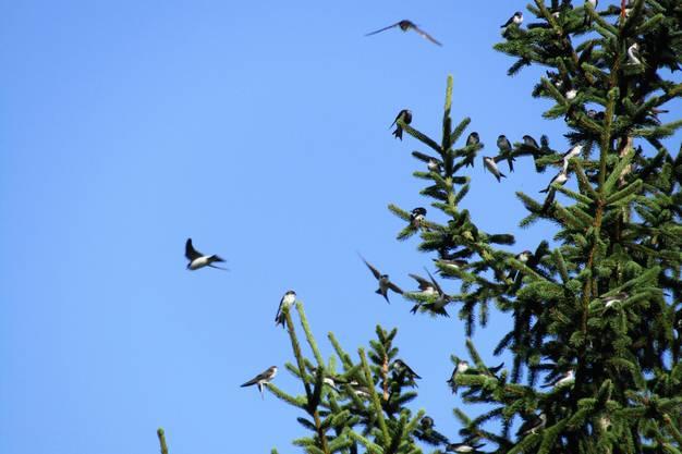 Mehlschwalben versammeln sich vor dem Abflug nach Süden