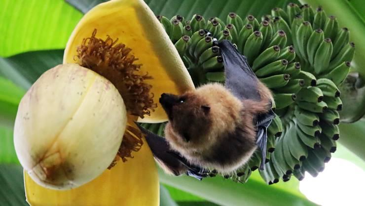 Der Flughund hat gerne Bananenblüten zum Zvieri !