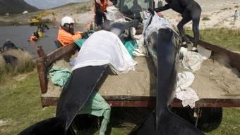 Helfer versuchen die Wale wieder ins Wasser zu bringen