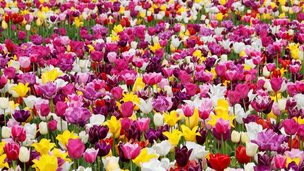 tulips-1405413_1920