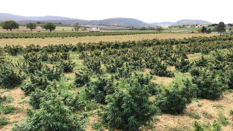 Der Traum eines jeden Kiffers entpuppte sich aber als Plantage für CBD-Hanf: Der ist legal – und hat fast keinen THC-Gehalt.