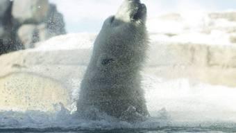 Eisbären sind stark gefährdet