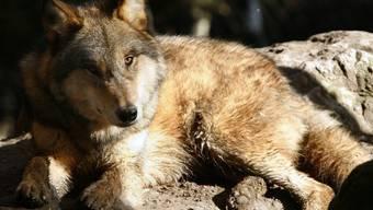 Die Zahl der Wölfe ist in Graubünden um zwei reduziert worden. (Themenbild)