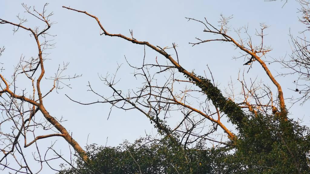 Sturz-Gefahr: Kranke Bäume werden per Heli gefällt