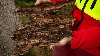 Borkenkäfer greifen die bereits von der Hitze und Trockenheit geschwächten Bäume an. Rund 35 Aren mussten im Turgemer Wald gefällt werden.Bild: Chris Iseli (26.10.2018)