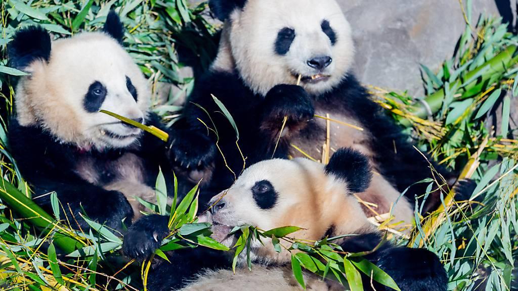 Die Panda-Zwillinge Pit (l) und Paule (unten) essen neben Mutter Meng Meng in ihrem Gehege im Berliner Zoo Bambus. Foto: Christoph Soeder/dpa